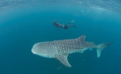 6-day Whale Sharks and Beach