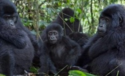 3 day Gorilla tracking Rwanda exclusive