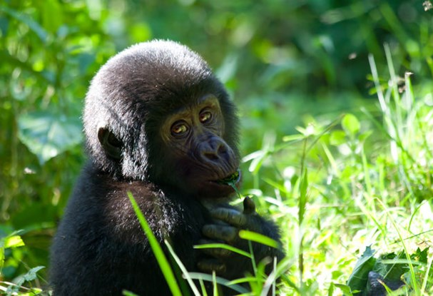 8 day Mountain Gorillas & Masai Mara