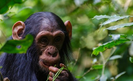 an introduction to the nature of chimpanzees Nature introduces you to the unsung heroes in our history in chimpanzees: an  unnatural history the history of chimps in our society is a.
